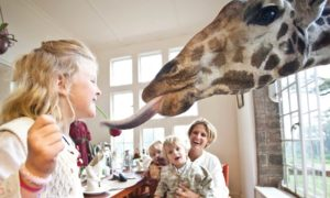 Закуска с жирафи – Хотел Giraffe Manor