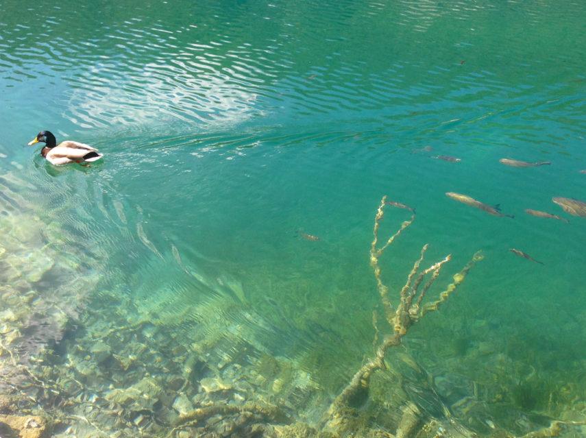 Риба в Плитвичките езера