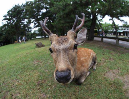 Японски град е окупиран от елени